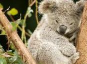 Cittadini scienziati aiutateci contare koala