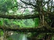 Living Root Bridges: Ponti Viventi Nongriat, India