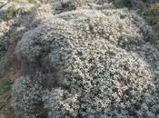 Astragalus thermensis pianta endemica della Sardegna