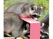 Regali Natale allo zoo: procioni, foche canguri festeggiano