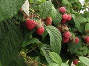 Lamponi frutti deliziosi