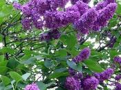 Sotto fiori lillà Scritture Social torno scrivere