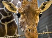 giraffa Marius giustiziata davanti bambini