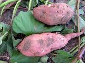 giovane Lecce conviene lavorare mese coltivare ettaro patata dolce batata (Ipomoea batatas Frigole?