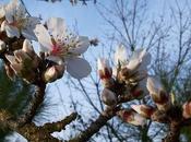Agrigento festeggia magia mandorlo fiore