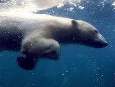 Orso polare percorre nuoto nove giorni