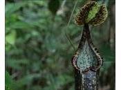 Pipistrelli usano piante carnivore come riparo toilet