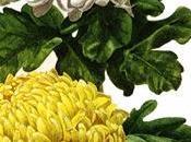 Kiku: Crisantemo