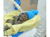 Diego: baby gorilla viene mondo grazie cesareo (video)