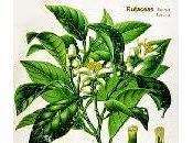 Bergamotto, olio essenziale Oggi nella rubrica