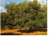 """Cultivar Olivo della Provincia Lecce """"Ogliarola leccese"""",""""Pizzuta leccese"""", salentina"""", """"Chiarita""""."""