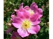 Olio vegetale Rosa Mosqueta
