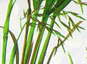Lemongrass, olio essenziale Salute