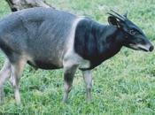 Cefalofo Jentink, dieci anni dall'estinzione