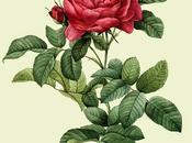 Rosa, olio essenziale Salute