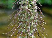 Himantoglossum hircinum, Barbone.