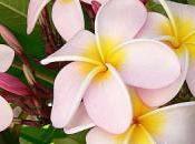 Frangipani, fiore caraibi