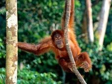 Orango specie estinzione