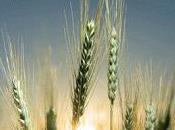 presento genoma frumento