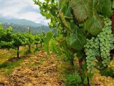 Vini vitigni d'Italia: Sauvignon Blanc ecco perché piace così tanto.