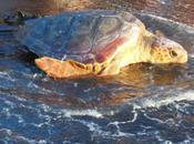 Sicilia: riprende mare linosa, tartaruga marina avvolta nella plastica