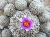 Dove acquistare copiapoe ariocarpus altri cactus