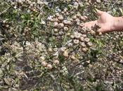 esemplare pyrus amygdaliformis rinvenuto nella campagna Gallipoli (Lecce)