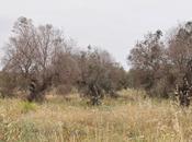 L'approccio ecosistemico buone pratiche agronomiche difesa nostri olivi secolari