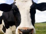 Farmaci bovini produrre latte: scoperto mercato nero