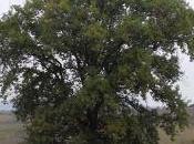 legno quercia