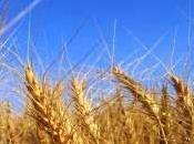 Cereali, capro espiatorio tante magagne dell' uomo moderno