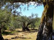 L'olivo sorprende.