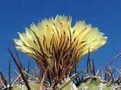 Astrophytum: impollinazione interspecie
