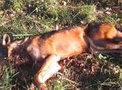Trovato lupo ferito arma fuoco Nicandro Garganico. Muore poco dopo.
