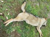 Cinque lupi trovati morti Puglia. Cosa sapere lupo come difendere greggi