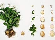 L'insostenibile leggerezza della Patata