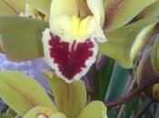 L'Orchidea Cymbidium