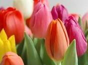 Tulipani olandesi