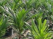 L'olio palma, male anche all'ambiente