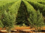 Marocco riproposto Agrifood Vinitaly propria eccellenza olivicola