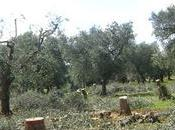 Napoletani vanno Puglia difendere ulivi: ecco come partecipare