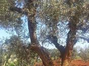 """Osservazioni Oliveto colpito CoDiRo 2013 effettuate aprile 2015 Gallipoli (Lecce) zona castellana"""""""