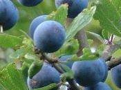 Prunus: Molise pianta contro tumori