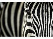Strisce delle zebre: cosa servono?
