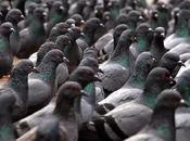 Troppi piccioni, ecco contraccettivi diminuirli