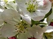 fiore Bach della purificazione, Crab Apple