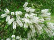 Erbe tintura, infuso, olio essenziale, Melaleuca/Tea tree