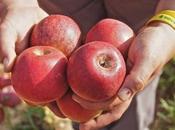 Comm'è bbona mela annurca: storia simbolo campano