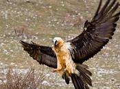 Gypaetus barbatus, l'avvoltoio europeo