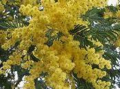 mimosa d'estinzione